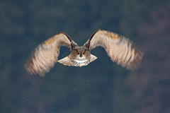 Mosca de cara del búho Búho de Eagle del eurasiático del vuelo con las alas abiertas con la escama de la nieve en bosque nevoso d foto de archivo libre de regalías
