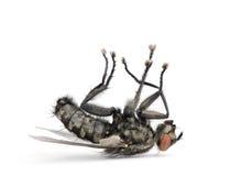 A mosca de carne que encontra-se sobre suporta de encontro ao fundo branco Fotos de Stock Royalty Free
