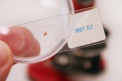 Mosca de fruta imagem de stock