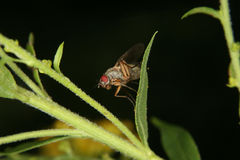 Mosca de fruta (Drosophilidae) Fotografia de Stock