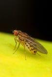 A mosca de fruta vai banana Imagens de Stock Royalty Free