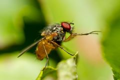 Mosca de fruto comum do homem, drosófila Melanogaster Fotografia de Stock