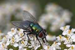 Mosca de Greenbottle, mosca verde do frasco, sericat do Lucilia Fotos de Stock Royalty Free