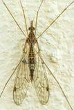 Mosca de guindaste, vara do Tipulidae em uma parede do cimento Fotografia de Stock