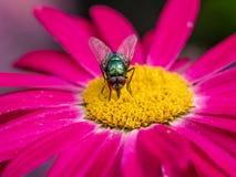 Mosca de la casa en las flores de la planta que recoge el néctar Foto macra Foto de archivo