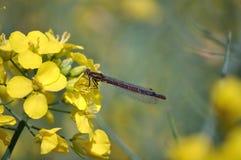 Mosca de la damisela en la flor amarilla Fotos de archivo libres de regalías