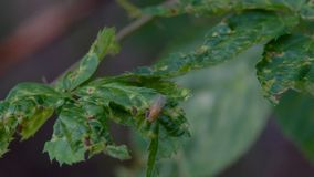 Mosca de la Drosophila en una hoja metrajes