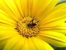 Mosca de la flor en margarita amarilla Fotografía de archivo libre de regalías