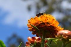 Mosca de la flor en una flor eterna Fotos de archivo