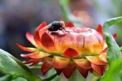 Mosca de la flor, flor eterna Fotografía de archivo libre de regalías