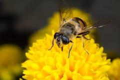 Mosca de la flor Macro Imágenes de archivo libres de regalías
