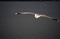 Mosca de la gaviota Fotografía de archivo libre de regalías