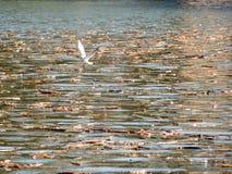 Mosca de la gaviota en un lago Imágenes de archivo libres de regalías