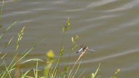 Mosca de la libélula lejos de la hierba de centeno almacen de metraje de vídeo