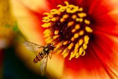 Mosca de la libración en la flor anaranjada brillante foto de archivo
