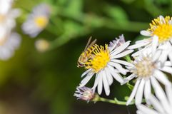 Mosca de la libración en margarita del flor en el otoño Imagen de archivo