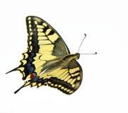 Mosca de la mariposa imagenes de archivo
