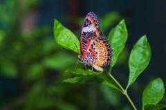 Mosca de la mariposa Imagen de archivo libre de regalías