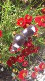 Mosca de la mariposa foto de archivo libre de regalías