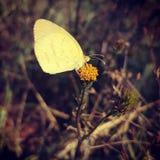 Mosca de la mariposa ausente Imagen de archivo
