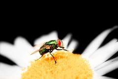 Mosca de la moscarda sobre Daisy On Black Background Imagen de archivo libre de regalías
