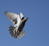 Mosca de la paloma en el cielo Fotos de archivo