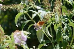 Mosca de la parada de la mariposa fotografía de archivo