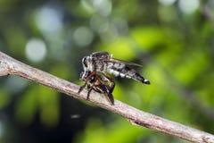 A mosca de ladrão com reza Imagens de Stock