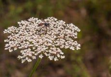 Mosca de ladrão em uma flor da planta da cenoura selvagem Imagem de Stock
