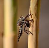 Mosca de ladrón con la abeja debajo de sus garras Fotos de archivo