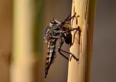 Mosca de ladrón con la abeja debajo de sus garras Imagen de archivo libre de regalías