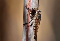 Mosca de ladrón con la abeja debajo de sus garras Fotografía de archivo libre de regalías