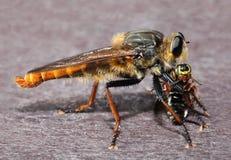 Mosca de ladrón gigante con la presa de la abeja Imagen de archivo