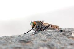 Mosca de ladrón (mosca del asesino) Foto de archivo libre de regalías