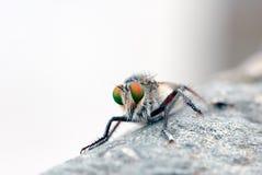 Mosca de ladrón (mosca del asesino) Fotografía de archivo libre de regalías