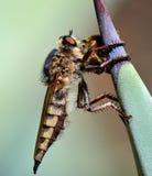 Mosca de ladrón que atrapa una pequeña abeja Imagenes de archivo