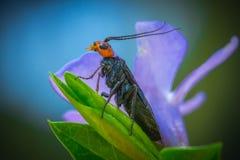 mosca de sierra Rojo-dirigida del pino imagen de archivo