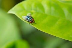 A mosca de sopro está na folha verde foto de stock