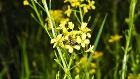 Mosca de Syrphidae en una flor amarilla Fotos de archivo libres de regalías