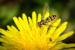 Mosca del abejón sobre la flor amarilla (Eristalis tenax) Fotografía de archivo libre de regalías
