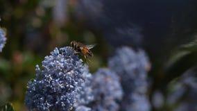 Mosca del abejón, SP de los eristalis , Adut en vuelo, flor en Normandía metrajes