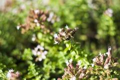 Mosca del abejón y x28; Tenax& x29 de Eristalis; en la flor Fotos de archivo libres de regalías