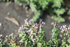 Mosca del abejón y x28; Tenax& x29 de Eristalis; en la flor Imagen de archivo