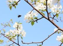 Mosca del abejorro en un manzano floreciente Fotografía de archivo