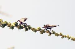 Mosca del asesino (mosca de ladrón) Imagenes de archivo