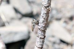 Mosca del asesino (mosca de ladrón) Fotografía de archivo libre de regalías