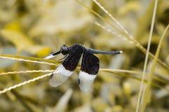 Mosca del dragón blanco y negro Foto de archivo libre de regalías