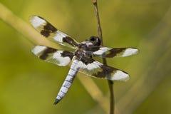 Mosca del dragón con las alas separadas Imagen de archivo