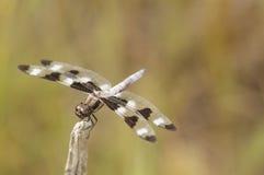 Mosca del dragón de la cebra en su perca Fotos de archivo