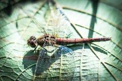 Mosca del dragón en la hoja verde Fotografía de archivo libre de regalías